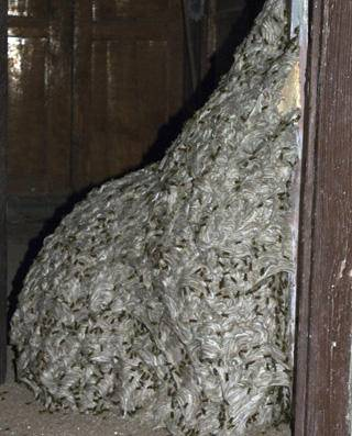 Seven-metre wasp nest found in abandoned house